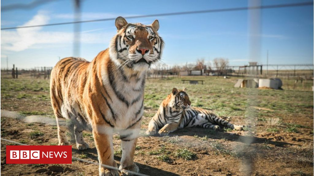 Big cats seized from park belonging to Tiger King couple