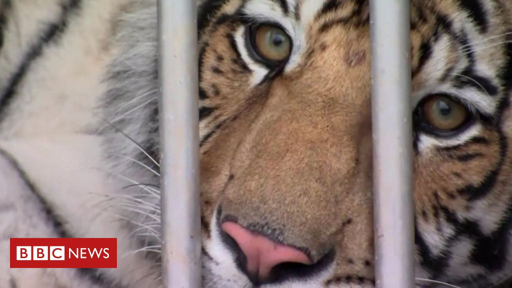 Houston tiger: Animal missing for a week located